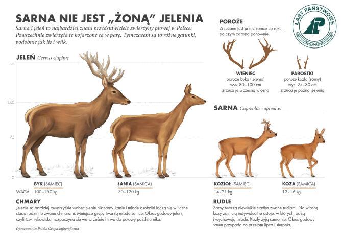 """Sarna nie jest """"żoną"""" jelenia (Lasy Państwowe)"""