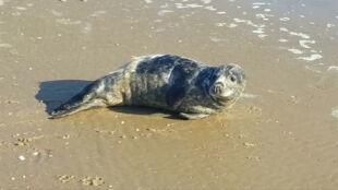 Młoda foka na polskim wybrzeżu. Wylegiwała się na słońcu