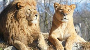 Koniec polowań na lwy i lamparty. Zambia straci 3 mln dol. rocznie